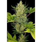 Auto Blue Cheese Feminised 5kom B.F.