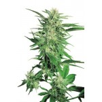 Big Bud Feminised 25 kom S.S.