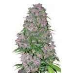 Purple Bud Feminised 5kom wls