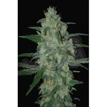 Thunder Bloody Mary Auto Fem 10 kom SAM.