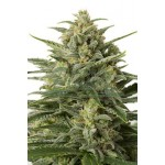 White Widow XXL Auto 5 kom DIN